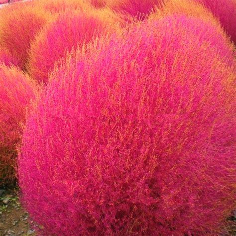 grass burning bush grass seeds perennial 100pcs kochia scoparia seeds red garden ornamental easy grow grass burning