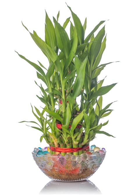 best food for bamboo plants food requirements of bamboo plants