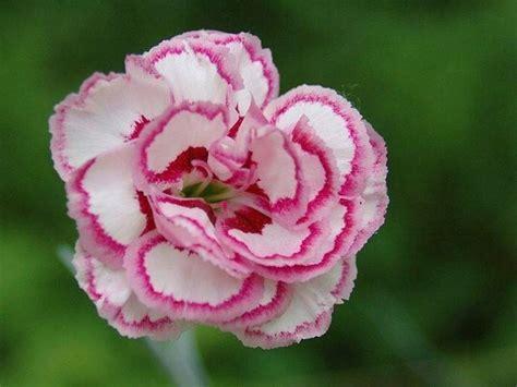 fiori garofano garofano significato fiori significato garofano