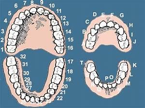 Dental Numbers