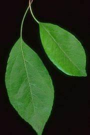 Near Point Chart Leaf New World Encyclopedia
