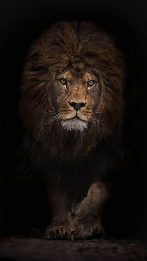 lion iphone wallpaper background iphone wallpaper