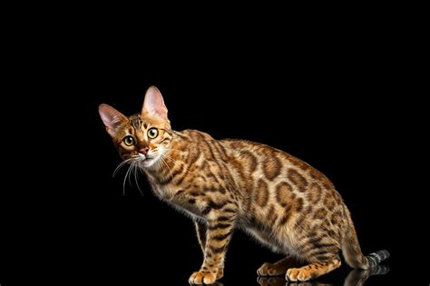 Wallpaper Cats Animals - wallpapers leopard cat cats gold animals staring black