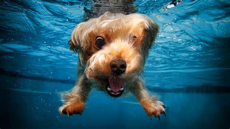 wallpaper terrier dog underwater cute animals funny