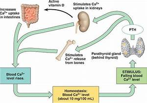 Physiology Of Kidneys