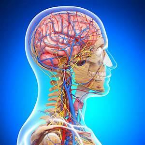 Anatomy Of Circulatory System Of Brain Stock Illustration