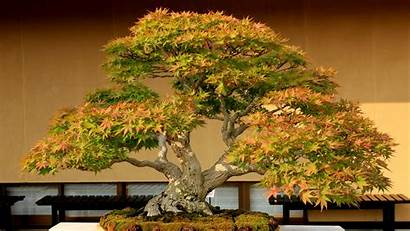 Bonsai Tree Wallpapers 4k Background Earth Resolution