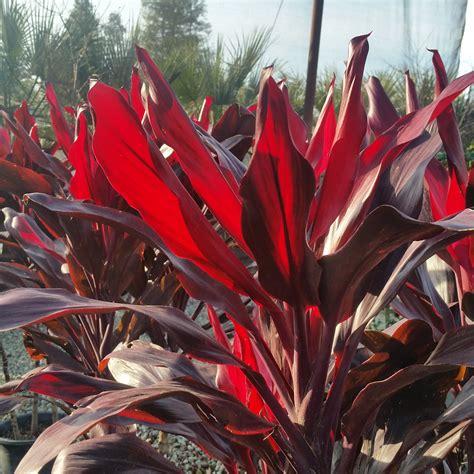 Cordyline fruticosa - Ti Plant - Mid Valley Trees
