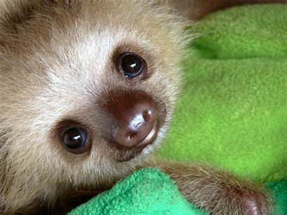 Sloth Sloths Cutest Adorable Fat Hello Animals