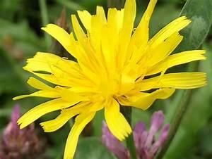 Gelbe Winterharte Pflanzen : gelbe blume bild 483 bildergalerie pflanzen 9 ~ Markanthonyermac.com Haus und Dekorationen