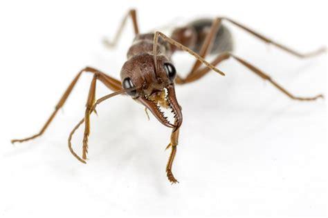 Ameisenplage Im Garten Bek Mpfen 2797 by Ameisenplage Im Garten Ameisenplage Im Garten Ameise Auf