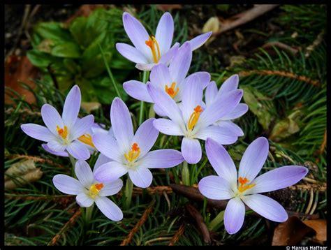 Pflanzen Im März by Stiefm 252 Tterchen Viola Wittrockiana Hybriden Bl 252 Ht Im