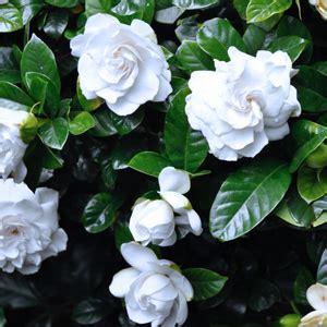 gardenia florida garden express