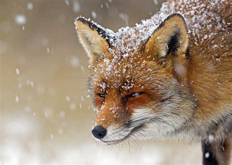 fonds decran renards neige museau animaux telecharger photo