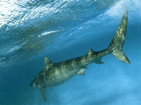 cwargubuh spiny dogfish shark anatomy
