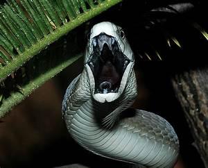 Venom Nature: Black Mamba