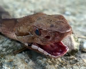 Copperhead Snake Fangs