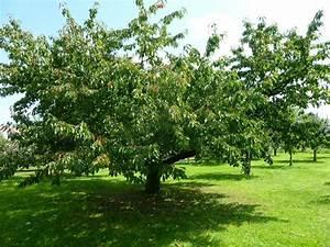 Taille De Cerisier : le verger d 39 herrlisheim taille du cerisier au verger cole ~ Melissatoandfro.com Idées de Décoration