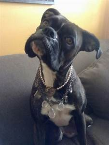 18 best images about Boxer Dogs Head Tilt on Pinterest
