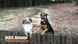 2 year old australian shepherd quotrangerquot before after video With dog training atlanta