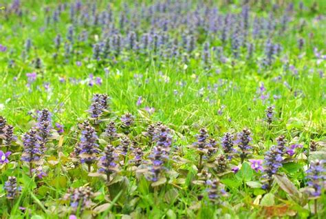 purple lawn it s not work it s gardening bugleweed essential in my lawn