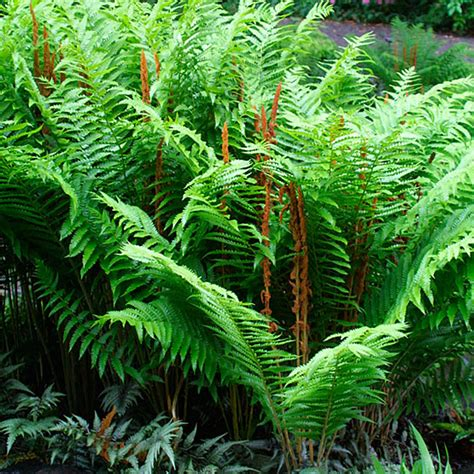 fern plant images plant monday cinnamon fern gardening in the lines