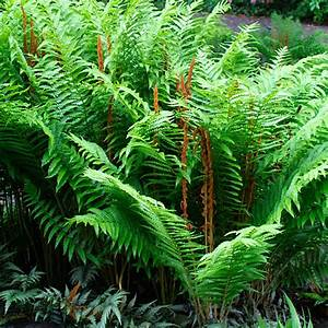 plant monday – cinnamon fern   Gardening in the Lines