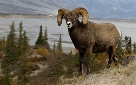 mountain sheep full hd wallpaper  background image