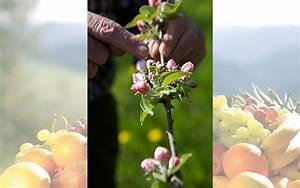 Wieviel Frost Verträgt Die Obstblüte : naturprodukt fruchtsaft mit der obstbl te beginnt das fruchtsaft jahr 2018 fachzeitschrift ~ Frokenaadalensverden.com Haus und Dekorationen