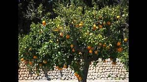 Planter Un Citronnier : l 39 oranger culture plantation taille greffage ~ Melissatoandfro.com Idées de Décoration