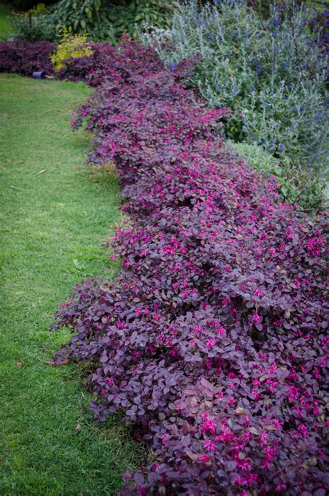 hedge plant with purple flowers loropetalum plum gorgeous purple foliage pink flowers mass planting for a year round
