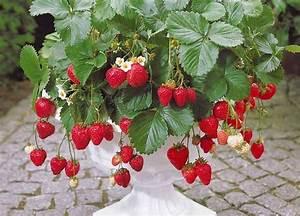 Faire Pousser Des Fraises : comment faire pousser des fraises bio toute l ann e l int rieur ~ Melissatoandfro.com Idées de Décoration
