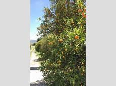 Kumquats, Organic and Biodynamic Available January 2019