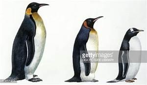 Birds Sphenisciformes Emperor Penguin Illustration Stock ...