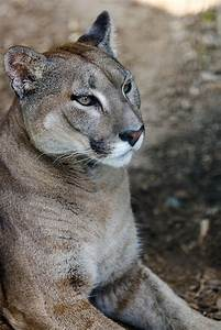 Pumas, Mountain lion and Beauty on Pinterest