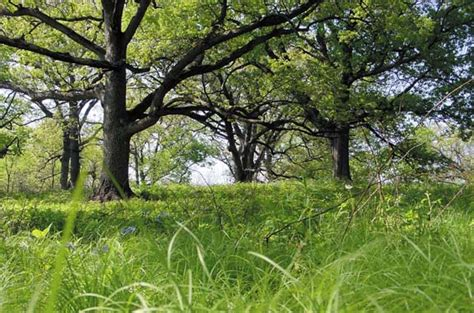 savanna oak oak savanna once covered nearly 10 of iowa s land now it can be found on less than 1 iowa