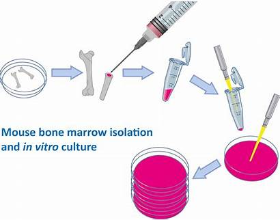 Marrow Bone Culture Isolation Mouse Vitro Symptoms