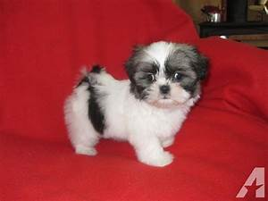 Beatiful AKC TOY shih tzu puppy (female )---10 weeks old