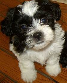 Teddy Bear Shih Tzu Bichon Mix Puppies