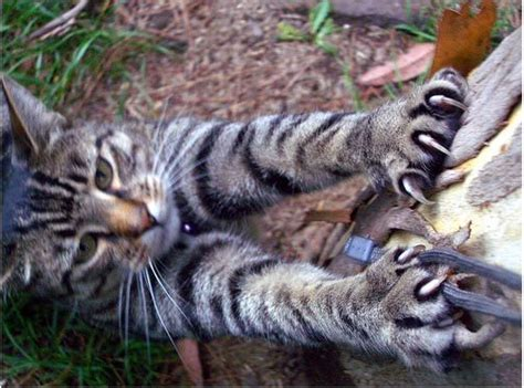 cat clawing furniture exposing 10 common myths about cats kitty bloger 2015