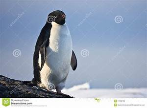Black and white penguin stock image. Image of cool ...