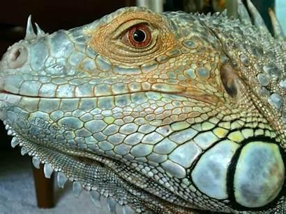 Exotic Reptile Nature Lizard Animal Vertebrate Macro