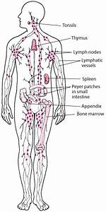 Overview Of The Lymphatic System - Heart And Blood Vessel Disorders