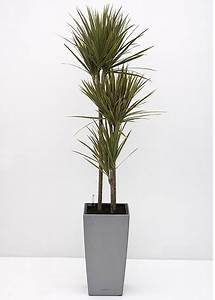 Dracaena tricolour tall narrow office planting for Tall narrow house plants