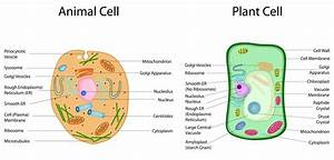 Plant Vs Animal Cells  The Difference Between Plant