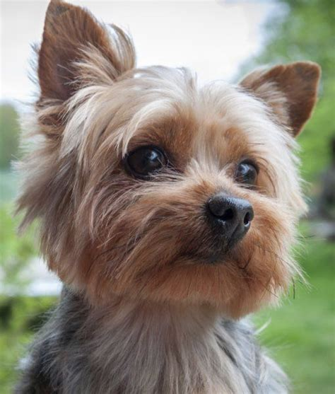 cool facts  yorkshire terriers dogs yorkies