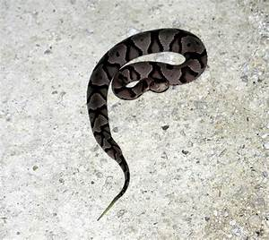 Baby Copperhead Picture Snake Pictures to Pin on Pinterest ...
