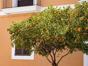 Kleiner Baum Garten : galerie zitruspflanzen mein mediterraner garten ~ Lizthompson.info Haus und Dekorationen