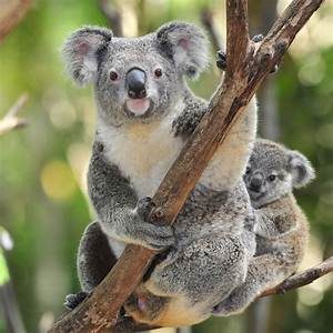 Koala Bear Interesting and Amazing All Basic Facts ...