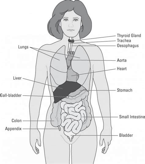 Simple Diagram Of Organ simple human anatomy diagram simple human anatomy